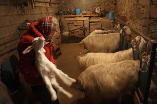 Salconi moderni Localitài Santu Pascali, Stazzu Monti Russoni - Cumunu di Tempiu  Stadda pa' capri e capritti, cura di l'allattamentu di li capritti