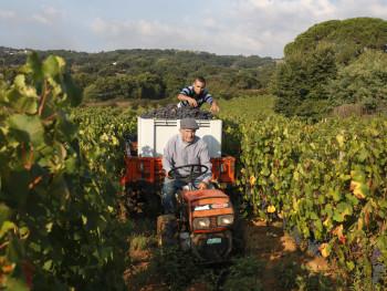 Tiu Paulu Località Sa Preda Bianca - Comune di Luras  Vendemmia dell'uva di Nebbiolo per le Cantine Paolo Depperu & Figli