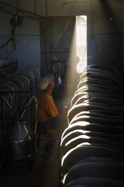 Secondo turno, primo sole Località Taroni - Comune di Telti  Stalla adiacente al Palazzetto di Taroni, mungitura del gregge con mungitrici elettriche