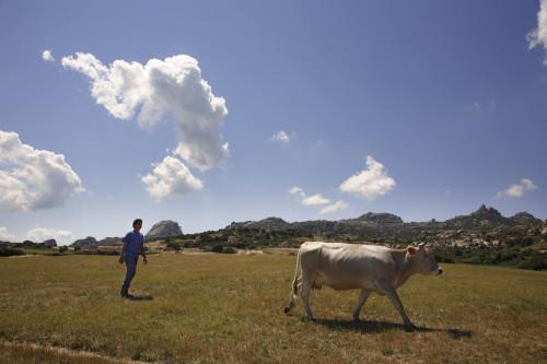 A li 'acchi Località Silonis, Piana Tunda - Comuni di Luras e Tempio Pausania  Prima della mungitura, sullo sfondo Pulchiana e Monti di Tassu