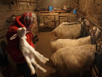Modern nursery for baby goats