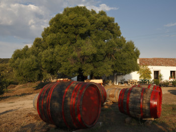 Olive trees and barrels