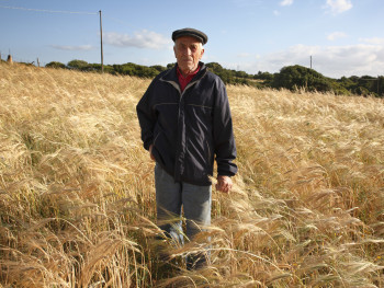 The ear of barley in hand