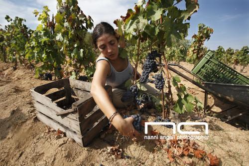 Grape Harvester